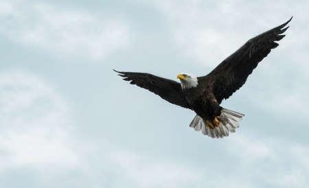 soar: Foto de un �guila calva en vuelo contra un hermoso cielo parcialmente nublado Foto de archivo