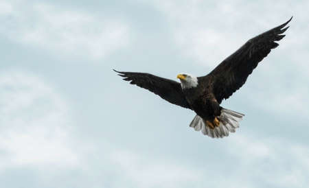 eagle flying: Photo of a Bald Eagle in flight against a beautiful partly cloudy sky