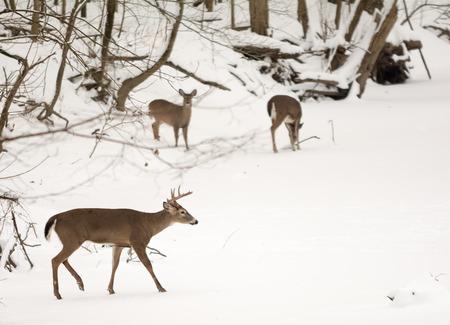 doe: Photo of  beautiful white tailed deer in a snowy winter scene.