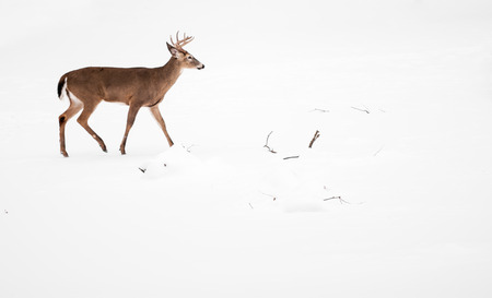 white tailed deer: Photo of a beautiful white tailed deer buck in a snowy winter scene. Stock Photo