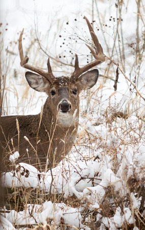 white tailed: Photo of a beautiful white tailed deer buck in a snowy winter scene. Stock Photo