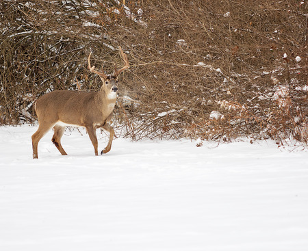 Photo of a beautiful white tailed deer buck in a snowy winter scene. Stock Photo