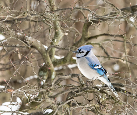 A closeup photo of a BlueJay bird in winter. photo