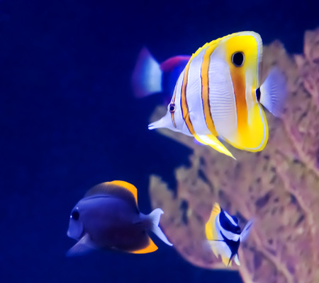 copperband butterflyfish: Copperband Butterfly Fish and other tropical fish in an aquarium.