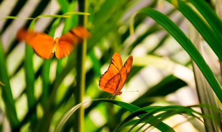flambeau: Two Julia Butterflies  in a butterfly house  One is resting on a leaf while the other is flying towards him