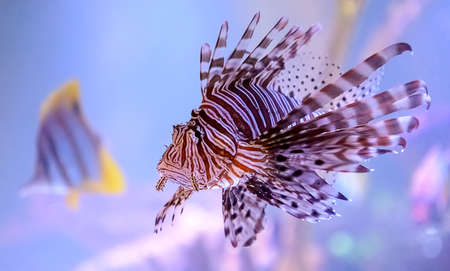 pterois: Pterois, commonly known as lionfish  A venomous marine fish found mostly in the Indo-Pacific