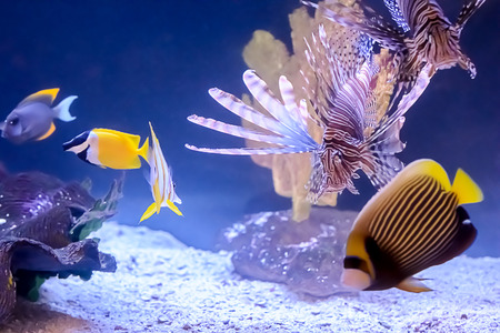 copperband butterflyfish: Beautiful and colorful variety of tropical fish including Lionfish, Copperband Butterfly Fish and other tropical fish in an aquarium