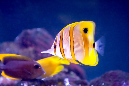 chelmon: Copperband Butterfly Fish and other tropical fish in an aquarium  Stock Photo