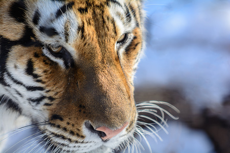 panthera tigris: Closeup of a Siberian Tiger face. Only about 350 to 450 of these beautiful animals are left in the wild.