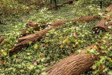 ground cover: Old dead trees laying on a forest floor with ground cover surrounding it