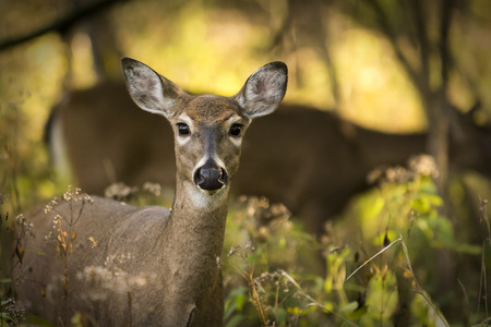 Two white tailed deer standing alert in the woods