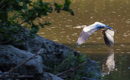great blue heron: Photo of a Great Blue Heron as it flys low over a river    Taken on the Sceninc Maumee river in Northwest Ohio
