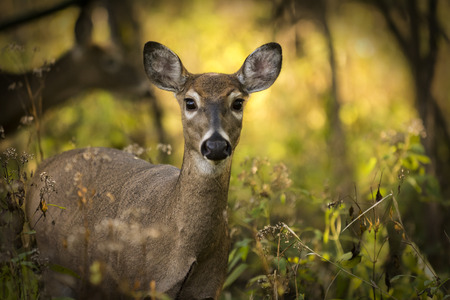 A white tailed deer doe standing alert in the woods  Autumn colors backlit by the sun make up a beautiful background  photo