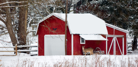 A White-Tailed Deer stands near a red barn shed in a snow covered field in Northwest Oho  photo