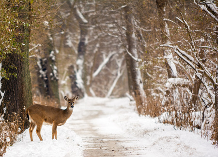 white tailed deer: Photo of a white tailed deer on a snowy path makes for a beautiful winter scene.