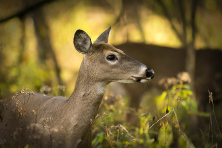 A white tailed deer doe standing alert in the woods that glow with autumn colors and morning sun  Stock Photo