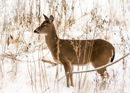 white tailed deer: Beautiful white-tailed deer in a snowy winter scene  Stock Photo