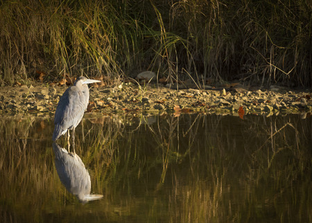 motionless: Great Blue Heron as it hunts motionless for fish.