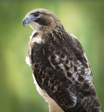 tailed: Red-tailed Hawk portrait  The most common hawk in North America  You ll most likely see Red-tailed Hawks soaring in wide circles high over a field