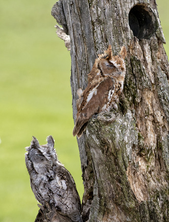 Eastern Screech Owls perched on a dead tree stump  Eastern Screech-Owl are found wherever trees are, and they Stock Photo - 27944120