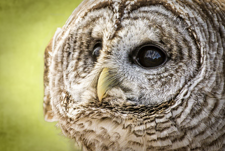 Close-up of a Barred Owl  The Barred Owl is primarily a bird of eastern and northern U S  forests photo