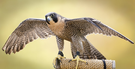 falco:  The largest falcon over most of the North American continent, with long, pointed wings and a long tail