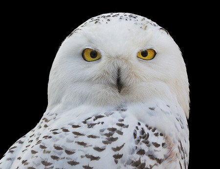 snowy owl: Close-up of a Snowy Owl isolated against a black background