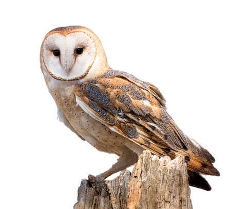white owl: A barn owl perched on a dead tree stump  Barn Owls are silent predators of the night world  Lanky, with a whitish face, chest, and belly, and buffy upperparts, this owl roosts in hidden, quiet places during the day  By night, they hunt on buoyant wingbeat Stock Photo