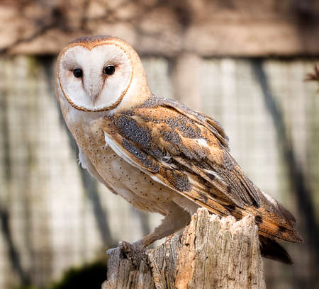 A barn owl perched on a dead tree stump  Barn Owls are silent predators of the night world  Lanky, with a whitish face, chest, and belly, and buffy upperparts, this owl roosts in hidden, quiet places during the day  By night, they hunt on buoyant wingbeat Stock Photo - 27944159