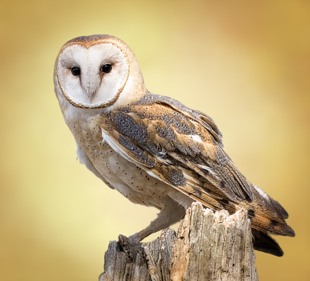 A barn owl perched on a dead tree stump  Barn Owls are silent predators of the night world  Lanky, with a whitish face, chest, and belly, and buffy upperparts, this owl roosts in hidden, quiet places during the day  By night, they hunt on buoyant wingbeat Stock Photo - 27944160