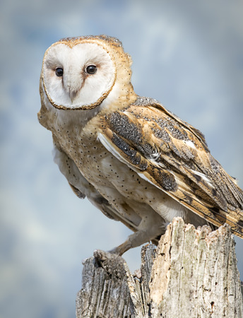 buoyant: A barn owl isolated on a blue sky background  Barn Owls are silent predators of the night world  Lanky, with a whitish face, chest, and belly, and buffy upperparts, this owl roosts in hidden, quiet places during the day  By night, they hunt on buoyant win Stock Photo