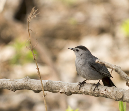 gray catbird: A Gray Catbird  Gray Catbirds are relatives of mockingbirds and thrashers, and they share that groups vocal abilities