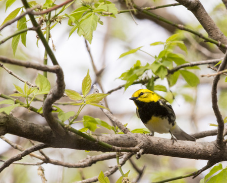 warbler: Black Throated Green Warbler  It