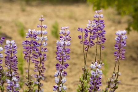 suelo arenoso: Un campo de altramuz azul silvestre en una reserva natural en Ohio El suelo arenoso que se desarrollan en el que se ve en el fondo