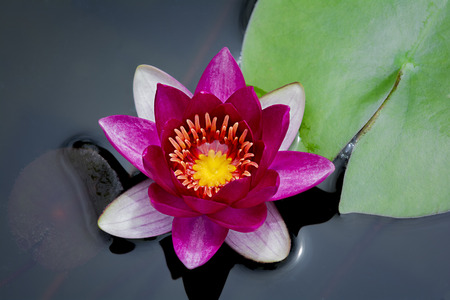 water garden: Beautiful close up  photo of  blooming pink water lily in a water garden  Stock Photo