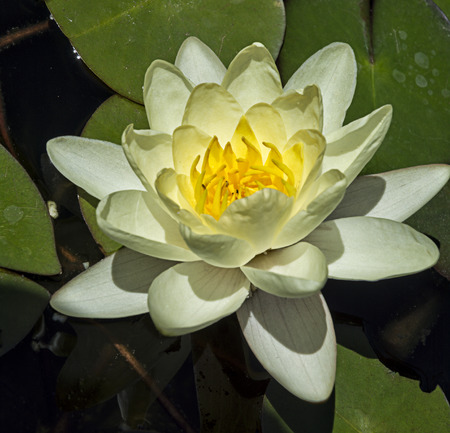 water garden: Beautiful close up  photo of  blooming white water lily in a water garden  Stock Photo