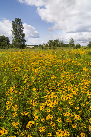 hirta: A field of yellow flowers called Black-Eyed Susans against a beautiful white puffy cloud sky  Stock Photo