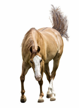 horse isolated: Photo of a beautiful cinnamon brown horse isolated on a white background.