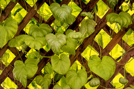 trellis: Photo of a leafy vine on a wooden trellis backlit by the sunlight.
