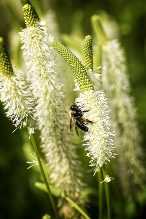 spikey: A bee collecting nectar on a white spikey flower.