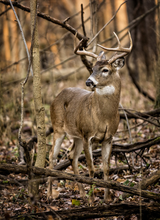 white tailed deer: An eight point white tailed deer buck in the forest of Ohio. Stock Photo