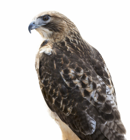 tailed: Red-tailed Hawk isolated and placed on a white background. The most common hawk in North America. Youre most likely see Red-tailed Hawks soaring in wide circles high over a field.