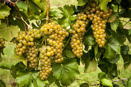 seedless: Bunches of ripe seedless white grapes hanging on the vine at a vineyard. These taste incredible.