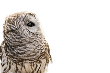 primarily: Close-up of a Barred Owl isolated on a white background.  The Barred Owl is primarily a bird