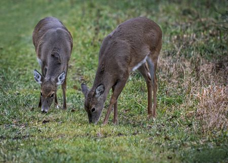 white tailed deer: Two white tailed deer feeding on some grass next to the woods. Stock Photo