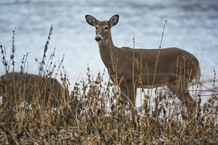 doe: Two white tailed deer doe standing alert next to a river bank. Stock Photo