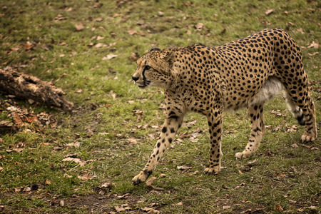 prowling: A beautiful Cheetah prowling in a leaf covered field making him hard to see with its spotted camouflage. Stock Photo