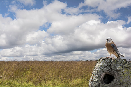 raptors: An American Kestrel perched on a tree stump in a field with a beautiful partly cloudy sky. North Americas littlest falcon, the American Kestrel packs a predators fierce intensity into its small body. Its one of the most colorful of all raptors. Stock Photo