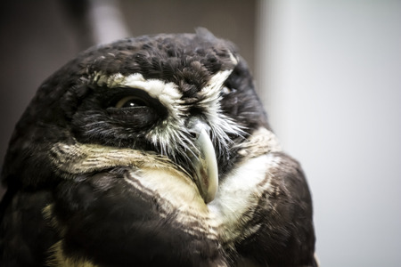 spectacled: Closeup photo of a beautiful Spectacled owl bird. The spectacled owl, Pulsatrix perspicillata, is a large tropical owl native to the  forests from southern Mexico and Trinidad, through Central America, south to southern Brazil, Paraguay and northwestern A Stock Photo