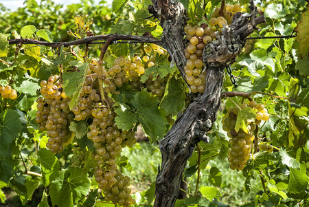 seedless: Bunches of ripe white seedless grapes  hanging on the vine at a vineyard. Stock Photo